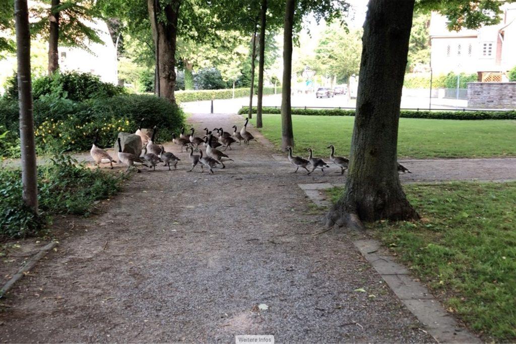 Die Gänse haben sich prächtig vermehrt in den letzten Jahren. Sie ziehen oft in großen Gruppen durch den Stadtgarten. Auch auf dem Marktplatz wurden sie schon gesichtet.