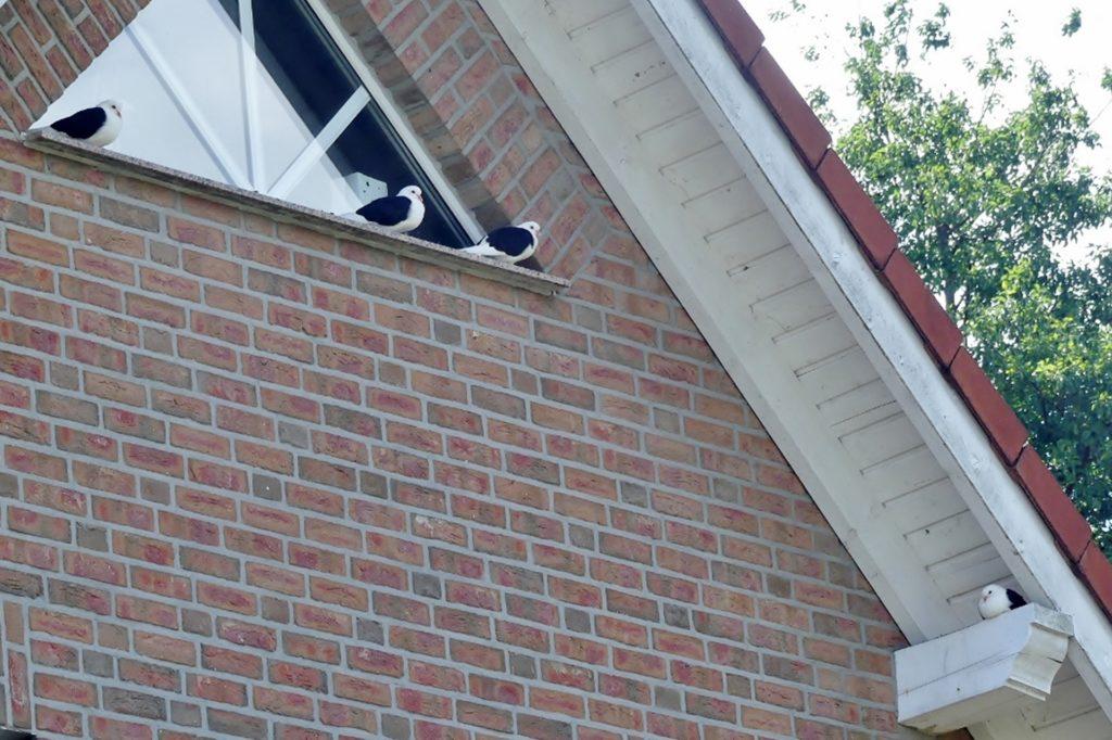 Die Schildtauben ließen sich am Dach eines Hauses nieder.