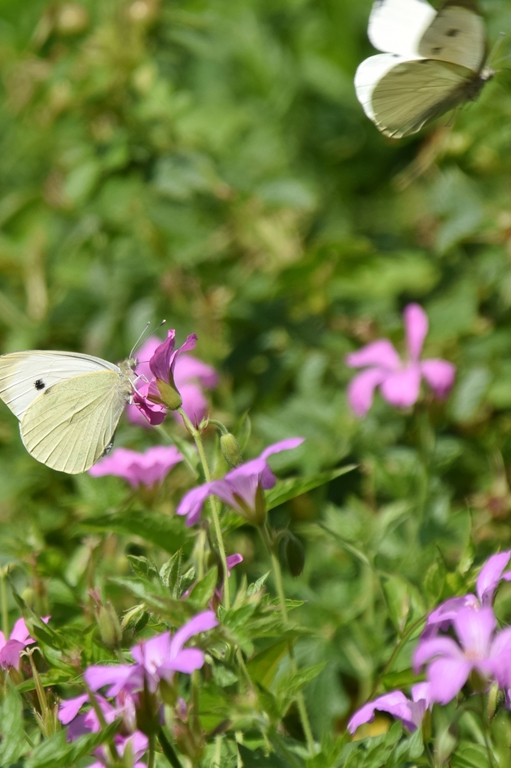 Die verschiedenen Strochschnabelarten blühen ab Ende März bis in den November hinein.