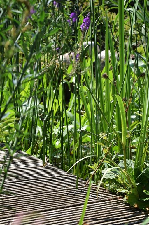 Schilf, Binsen, Iris, Hecht- und Pfeilkraut umrahmen den Steg, der den Flachteich vom Seerosenteich trennt.