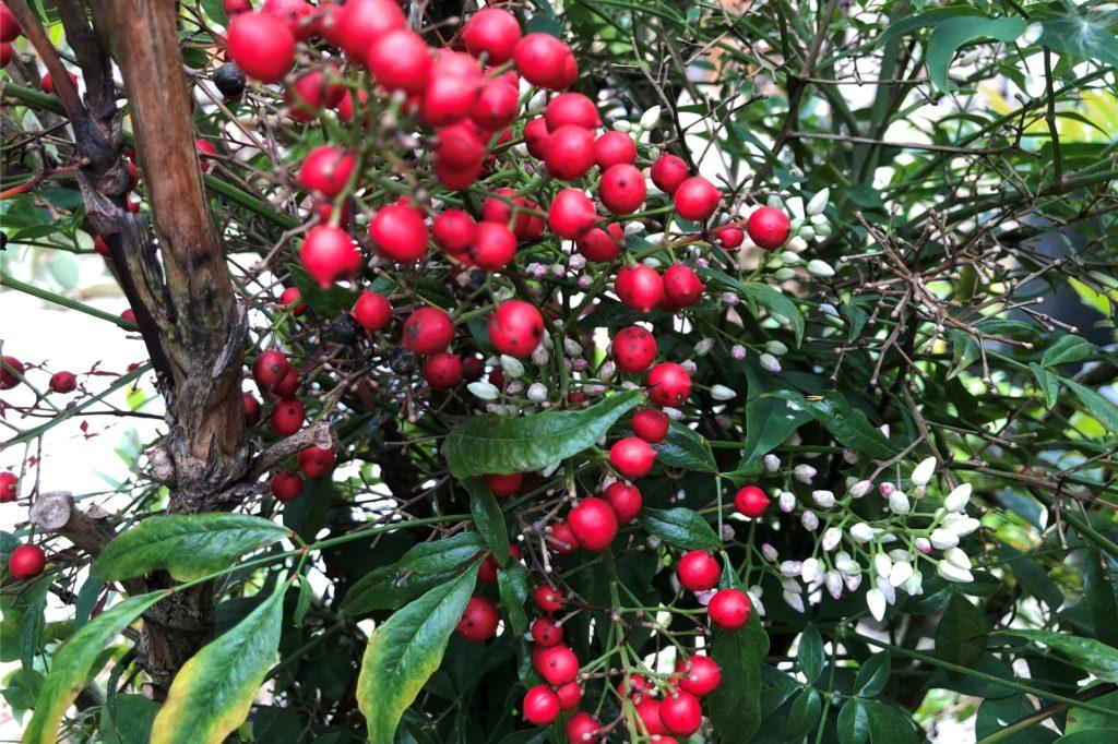 Das Besondere am Heiligen Bambus: Er trägt gleichzeitig rote (und giftige) Früchte und weiße Blüten.