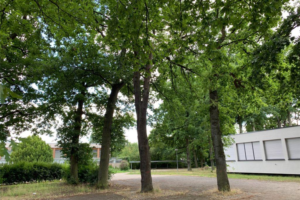 Der ehemalige Innenschulhof der Gerhart-Hauptmann-Realschule ist Standort zahlreicher etwa 100 Jahre alter Eichen. Die verkümmern aber zwischen dem Asphalt.