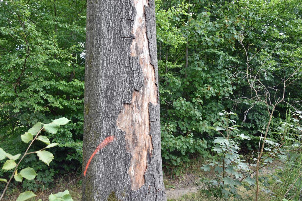 Der Stamm dieser Buche ist aufgeplatzt. Die Hitze war zu groß. Der Baum muss demnächst gefällt werden, da er ansonsten unkontrolliert umstürzen würde.