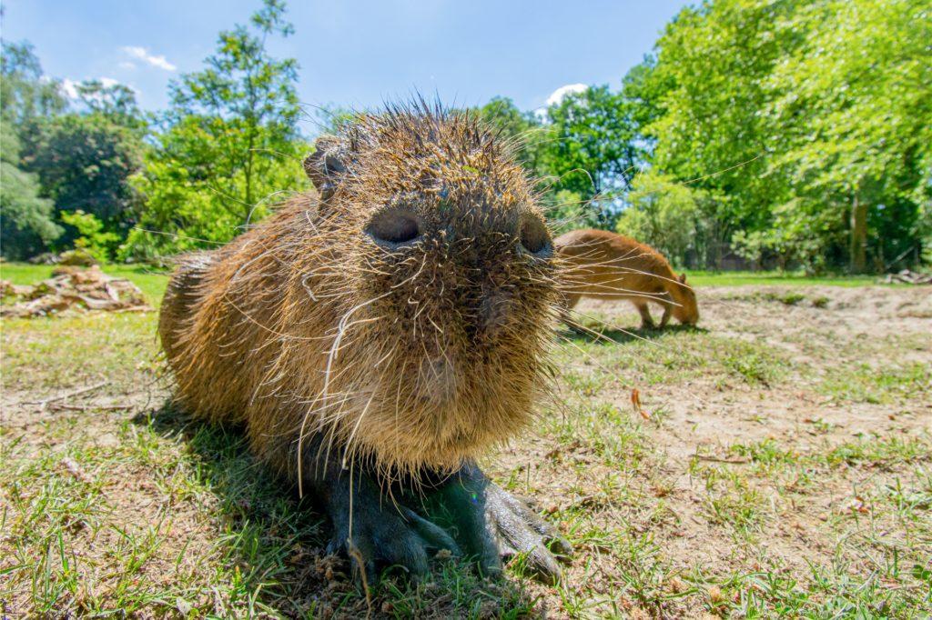 Auch Wasserschwein (Capybara) Daniela nimmt zur Abkühlung gern ein Schlammbad.