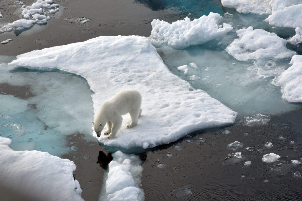 Infolge des schmelzenden Eises in der Arktis ist das Überleben von Eisbären bis 2100 nach Berechnungen von Forschern gefährdet.