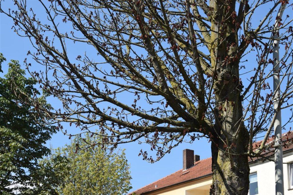 Wenn die Bäume zu trocken sind, können herabfallende Äste zur Gefahr für Fußgänger, Radfahrer oder Autofahrer werden.