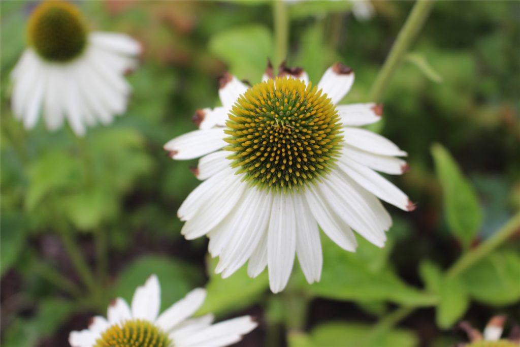 Trotz intensiver Pflege zeigen die Blüten die Spuren des Dürre-Sommers.