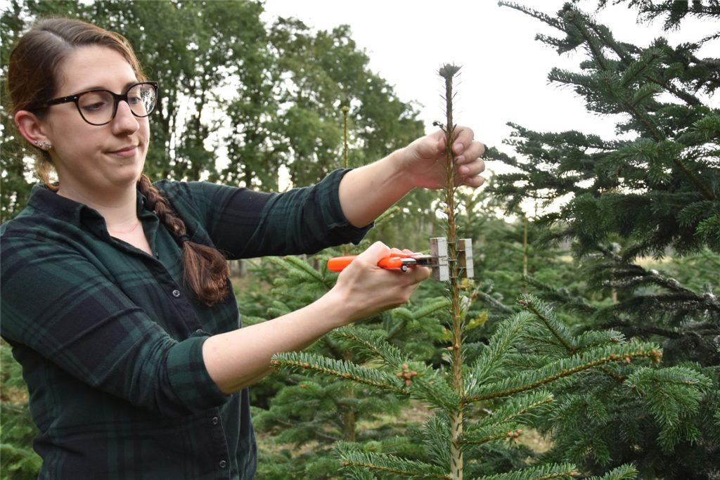 Annette Bösing bearbeitet die Tanne mit der Top-Stopp-Zange, damit die Spitze in einem guten Größenverhältnis zum Baum wächst.