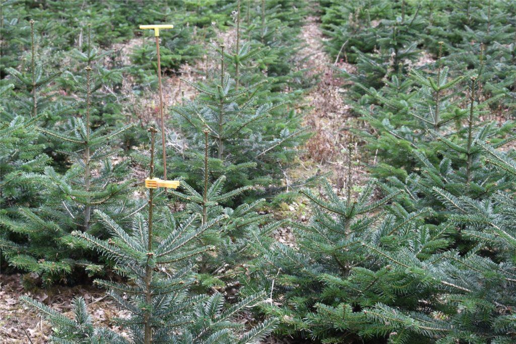 Die Ansitzstange für Singvögel schont die zarten Spitzen der Mini-Weihnachtsbäume.