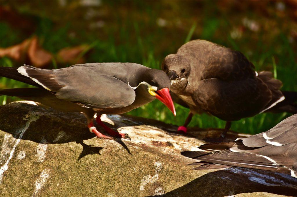 Die junge Inkaseeschwalbe mit einem der Elterntiere