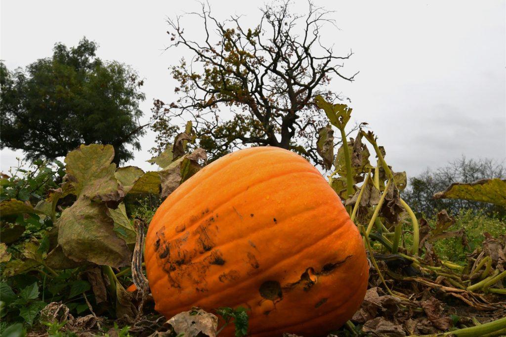 Ernte der Halloween-Kürbisse auf Hof Schulze Altcappenberg im Oktober.