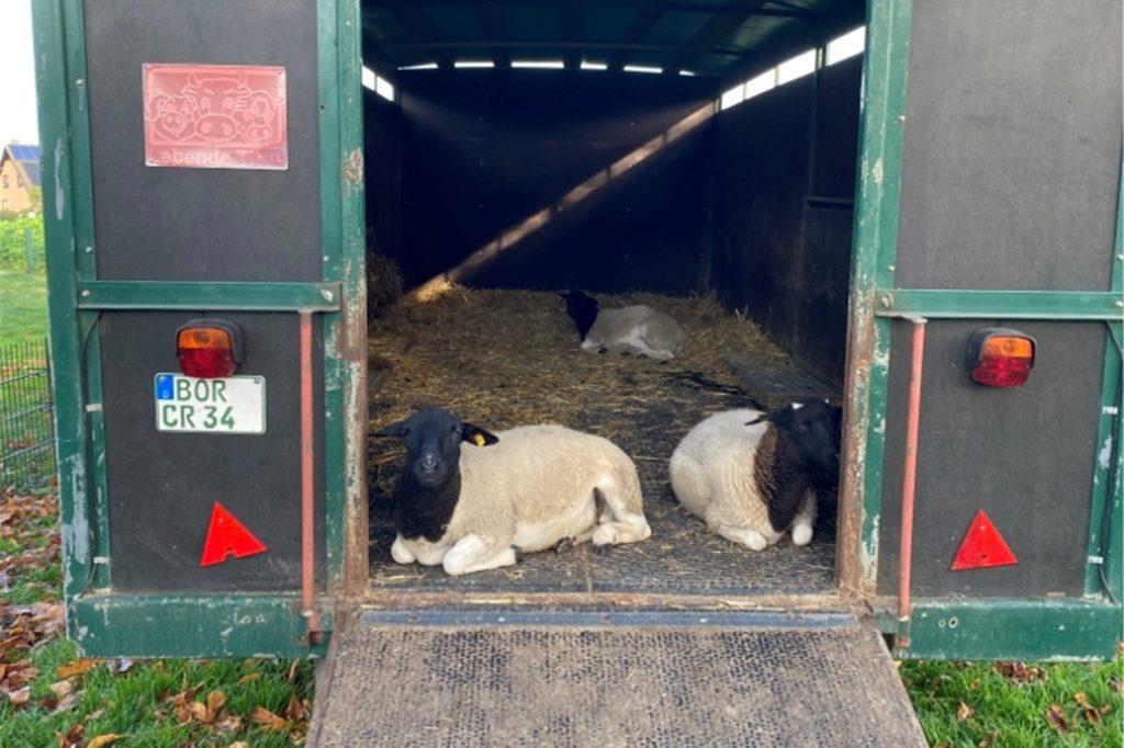 Auch drei Schafe gehören jetzt fest zum Bauernhofkindergarten. Im kommenden Jahr sollen weitre Tierarten folgen.