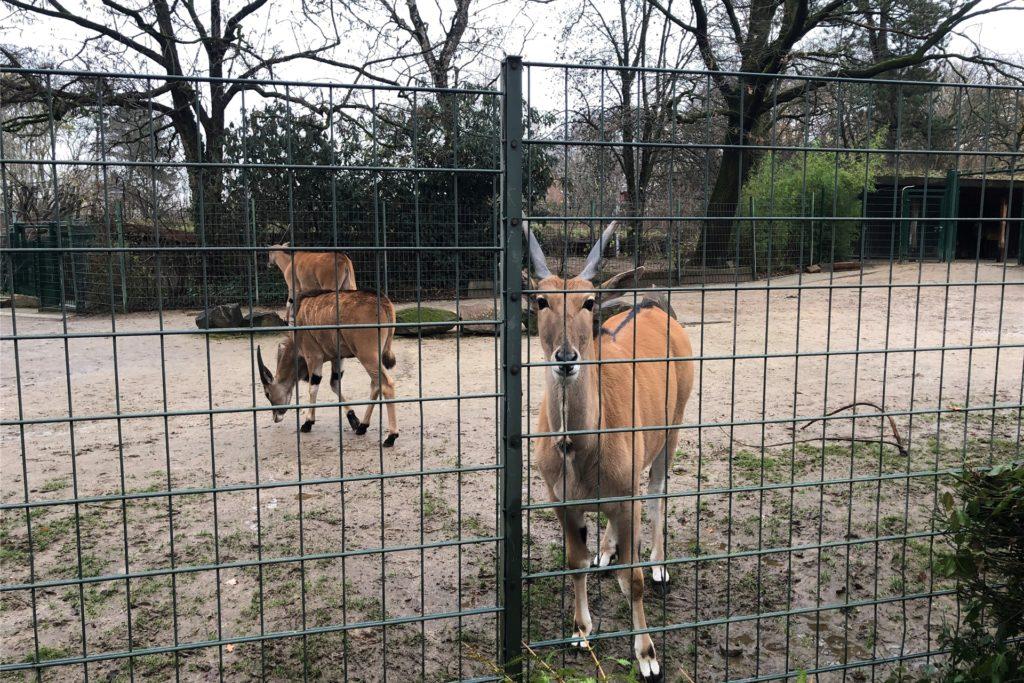 Die Elenantilopen im Dortmunder Zoo kommen näher als sonst an den Zaun.