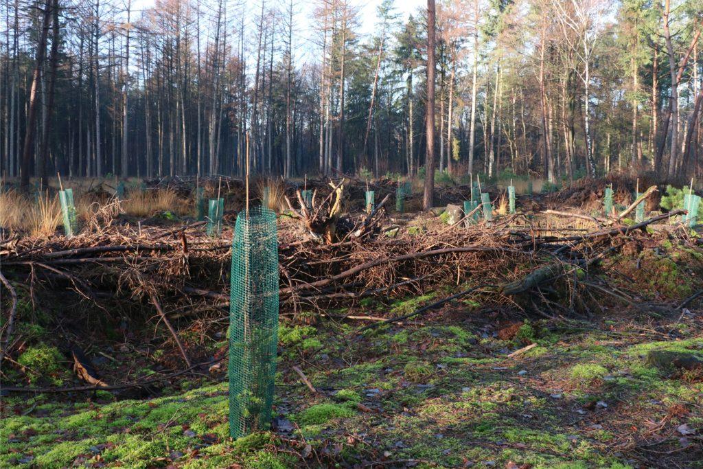 Wo Fichten geschlagen werden mussten, schob die Besitzerfamilie Fichtenmulm und Totholz zu Wällen zusammen. In den Zwischenräumen pflanzten sie Douglasien. Solche jungen Anpflanzungen sollten Waldspaziergänger nicht betreten.