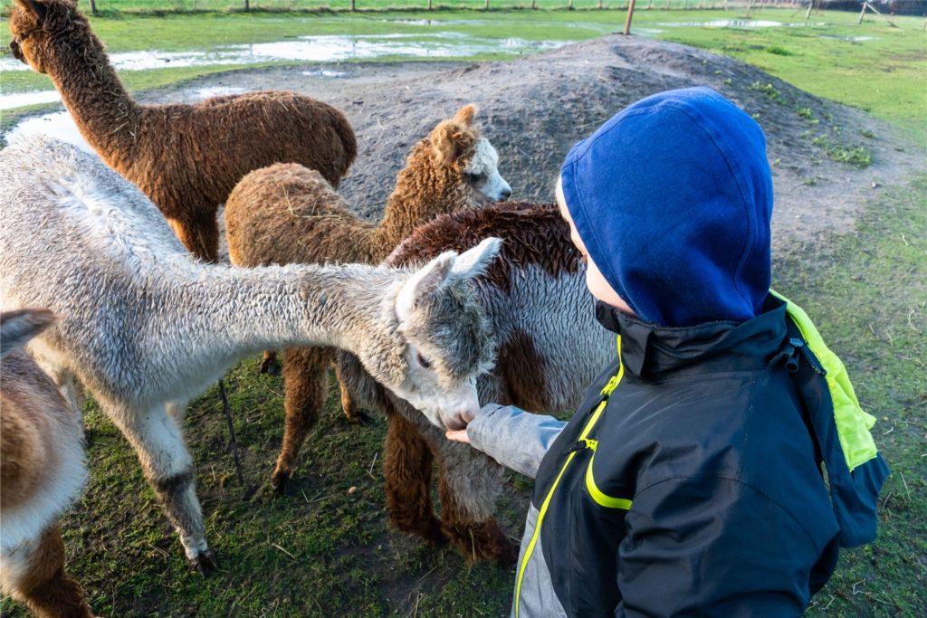 Zur Begrüßung gab es für die Alpakas Leckerchen.