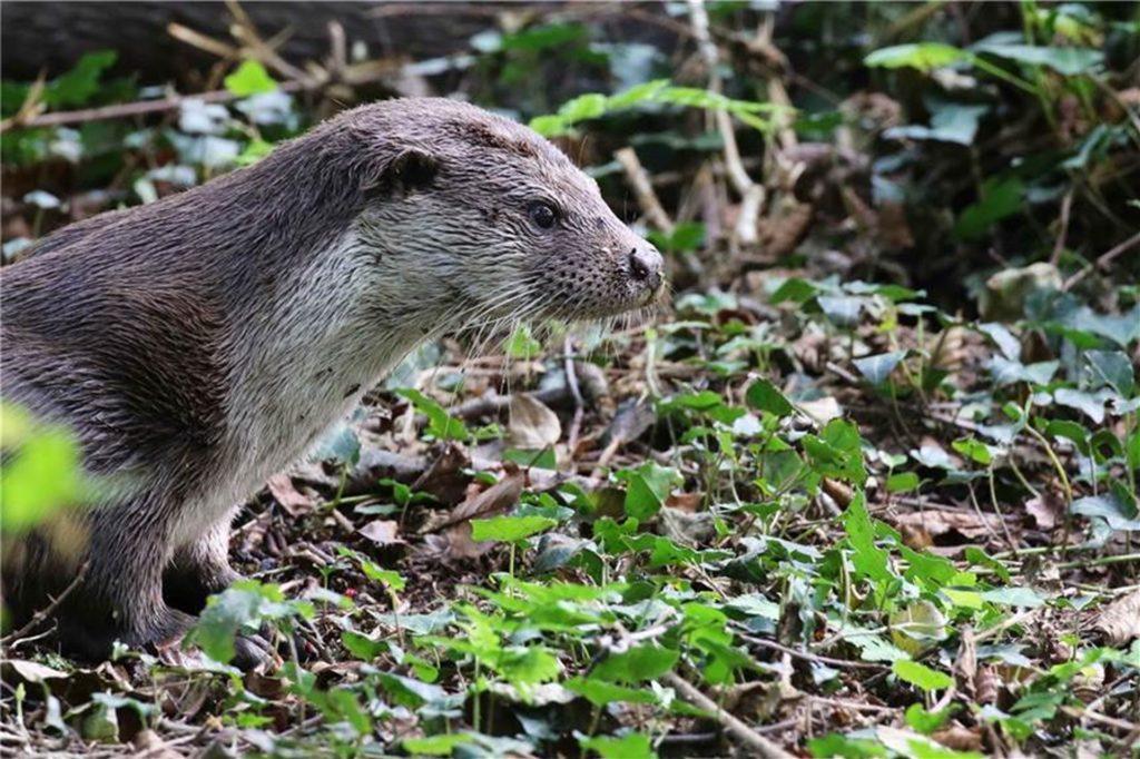 Der Otter ist zurück im Westmünsterland. An sechs Kilometern gut begehbaren Wegen (auch für Rollstuhlfahrer) beherbergt der Biotopwildpark Anholter Schweiz in Isselburg neben 40 Arten einheimischer Tiere auch ihn. Wegen des Lockdowns muss auch der Park geschlossen bleiben.