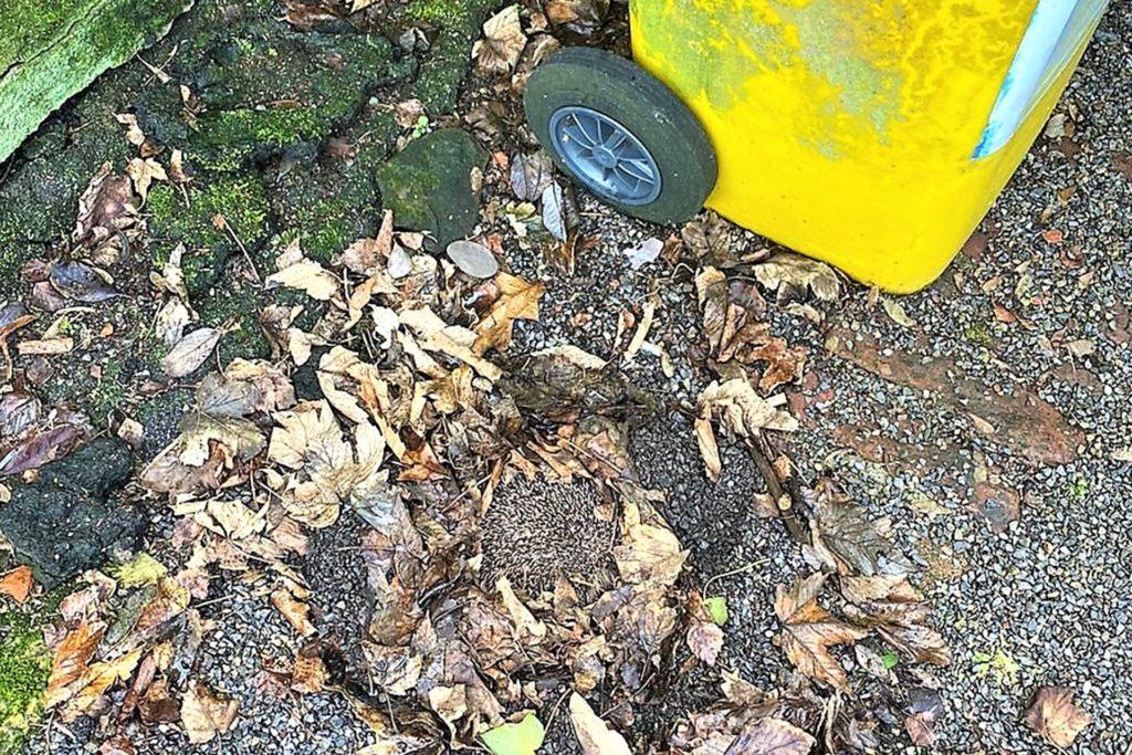 Ausgerechnet unter einer Mülltonne hatte sich der Igel sein unzureichendes Winternest gebaut.