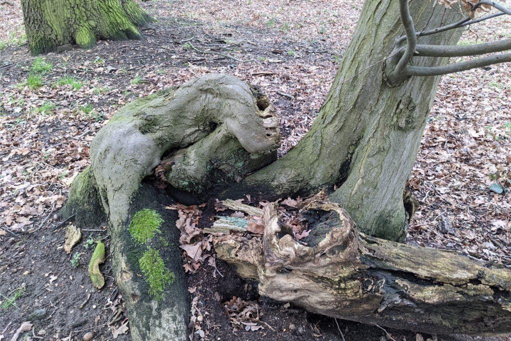 Es sieht aus, als würde sich der Gorilla behaglich zu Füßen des benachbarten Baum anlehnen.