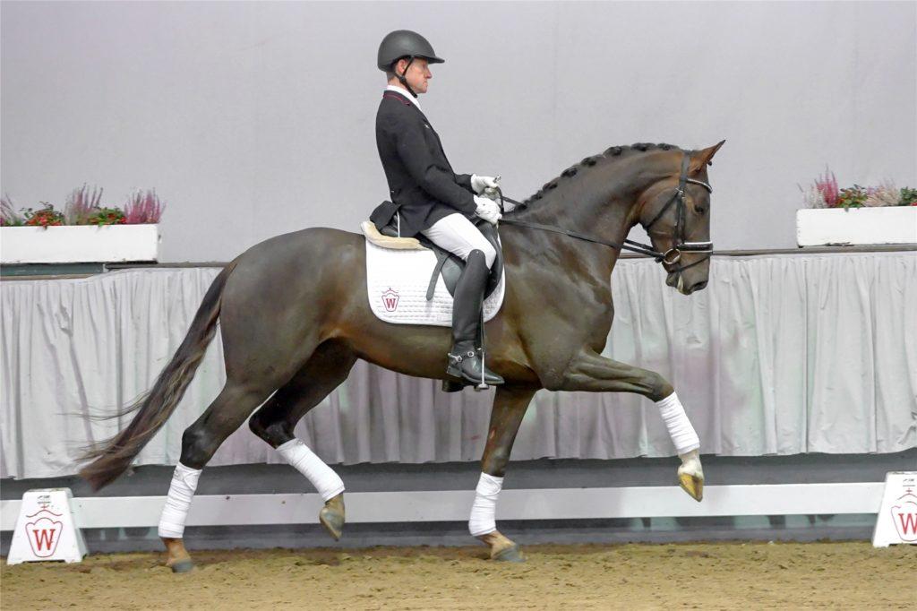 Den Höchstzuschlag beim Auftakt des Auktionsjahrs des Westfälischen Pferdestammbuches machte Fandango, der Hengst aus Bruno Blomes Pferdezucht.
