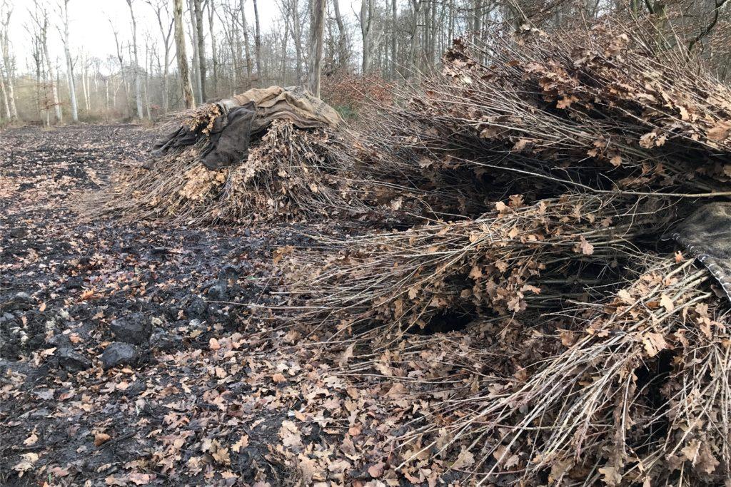 18.000 Stecklinge, junge Bäume im Alter von zwei Jahren, werden Anfang 2021 im Grutholz und in Bladenhorst in den Wäldern gepflanzt, um beschädigte Flächen wie diese wieder aufzuforsten und auch alte Bäume zu retten.