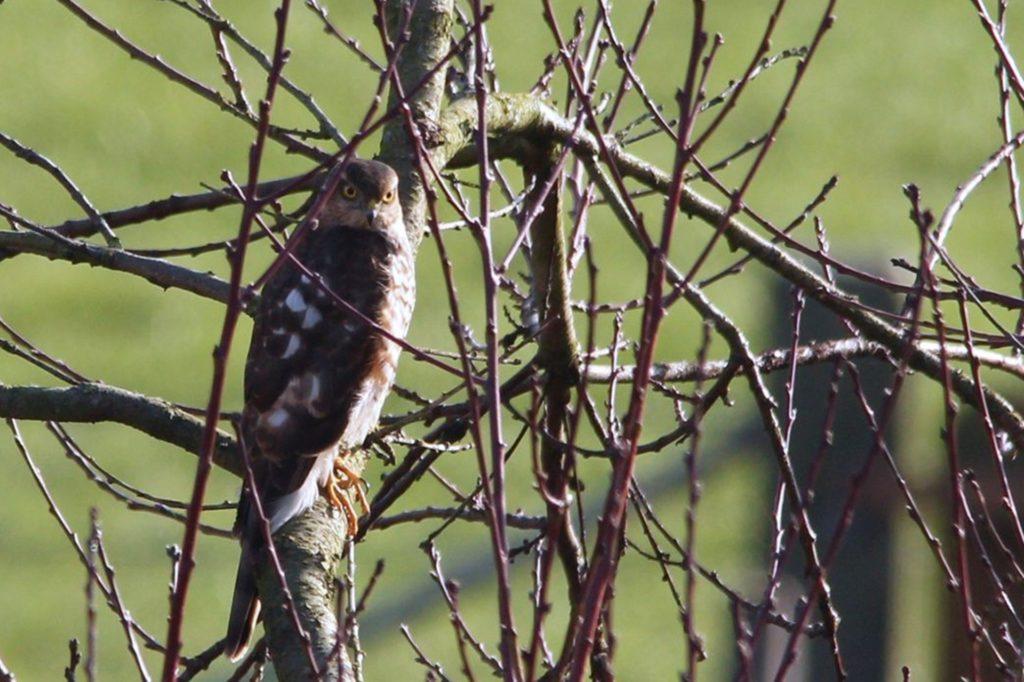 Dieses Foto hat Klaus Nowack, Gründer der Interessengemeinschaft Ornithologie und Natur, von einem Sperber-Männchen gemacht.