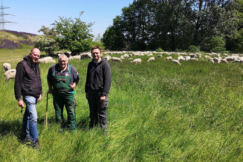 Ökologische Mahd: Merino-Schafe von Familie Hüppe aus Reken pflegen seit Jahren die Lippedeiche.