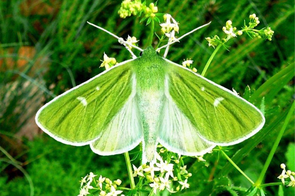 Die Grüneule gehört zur Familie der Eulenfalter.