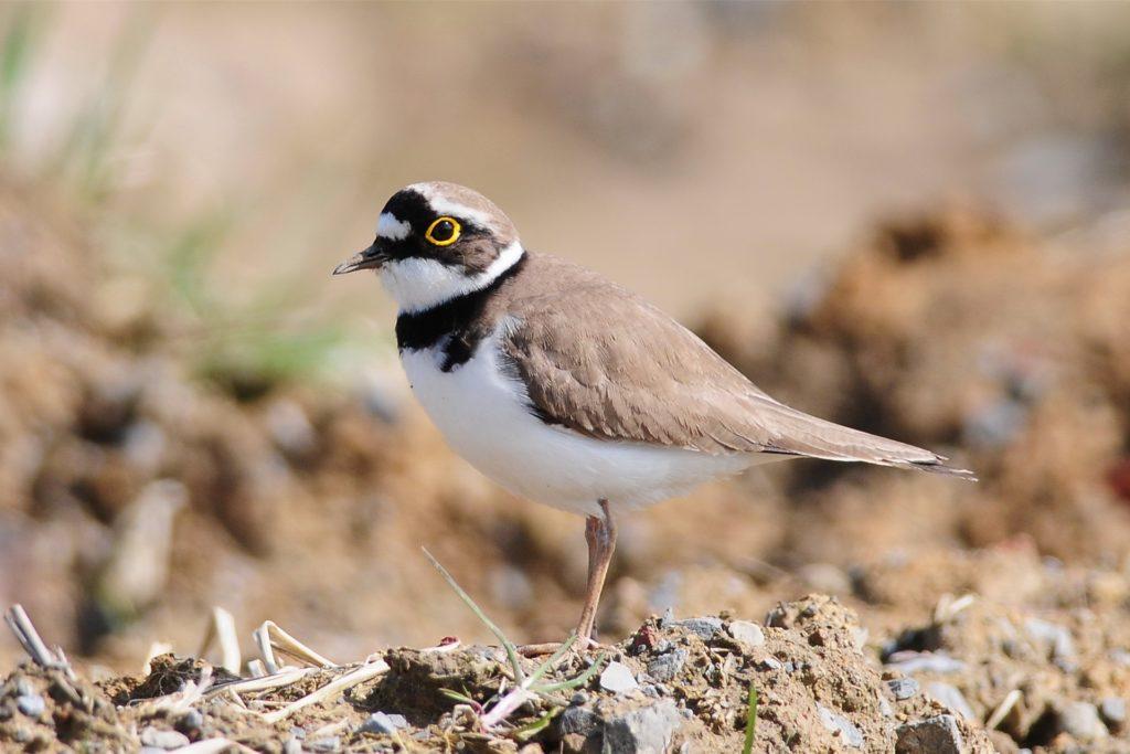 Beim Flussregenpfeifer handelt es sich um einen typischen Brutvogel bewuchsarmer Sand-, Kies- und Schotterflächen, wie sie an naturnahen Flüssen vorkommen.