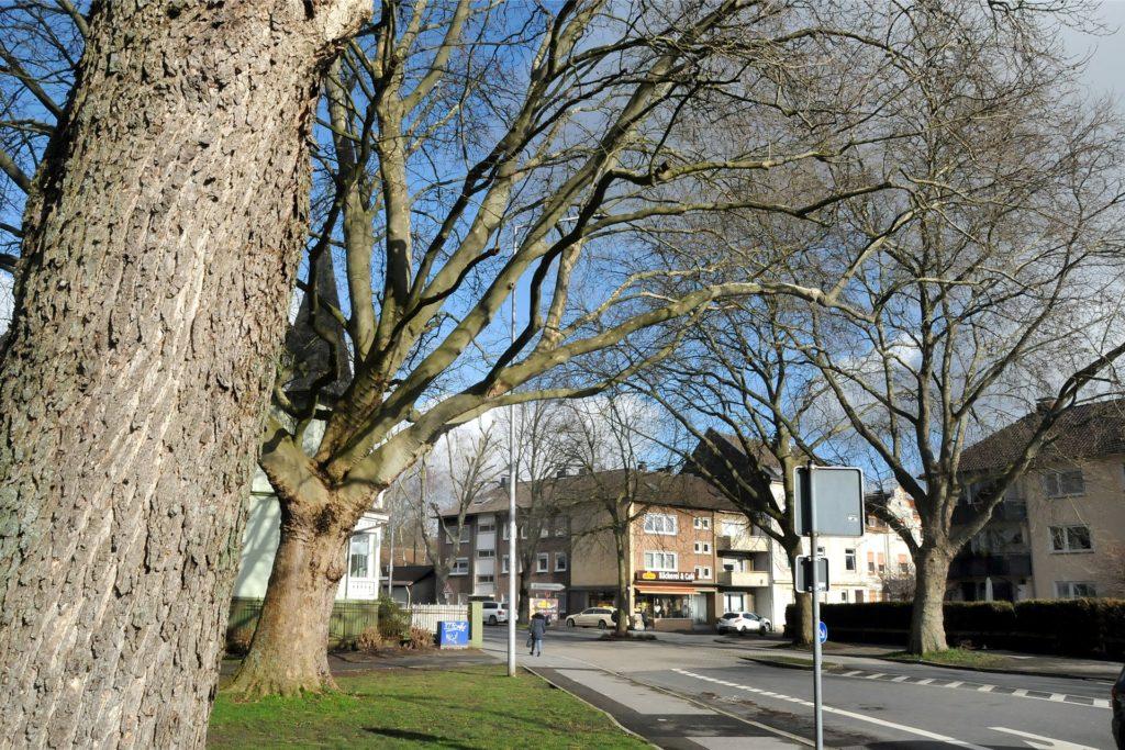 Auch die Kronen der großen Platanen zwischen der Zuwegung zum Hallenbad und der Einmündung Ostberger Straße wurden nicht gepflegt.