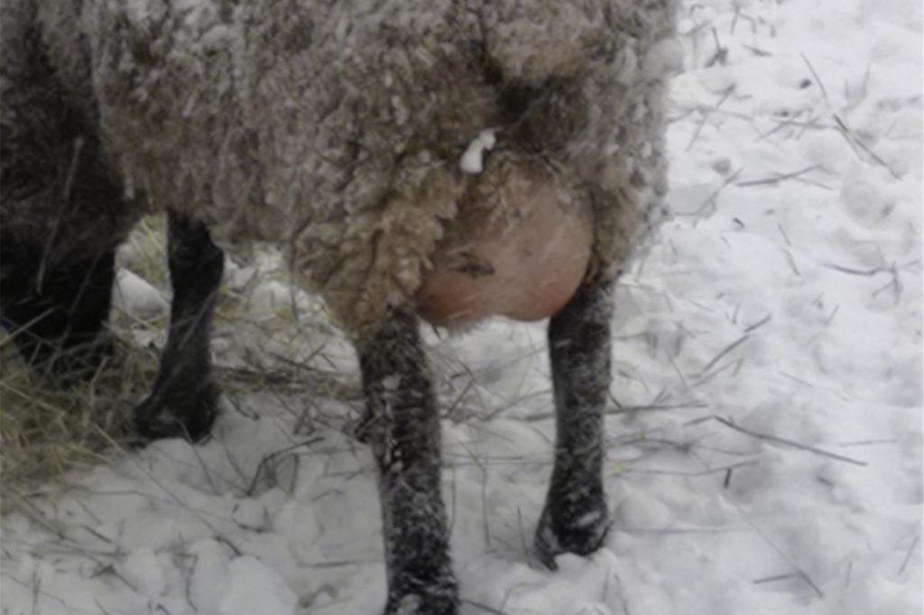 Sechs Lämmchen hat der Schäfer schließlich von der Weide geholt, die Mutterschafe aber stehen gelassen. Die leiden jetzt unter ihrem dicken Euter, der nicht abgemolken wird.