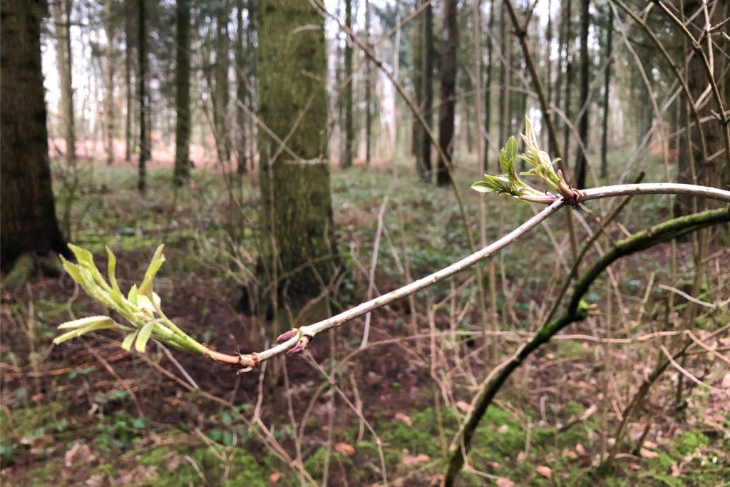 An manchen Stellen im Wald sind bereits Vorboten des Frühlings zu sehen.