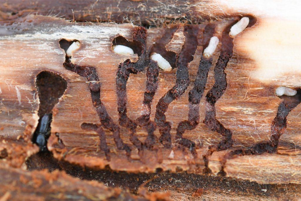 Ein Borkenkäfer und Käferlarven unter der Rinde einer geschlagenen Fichte