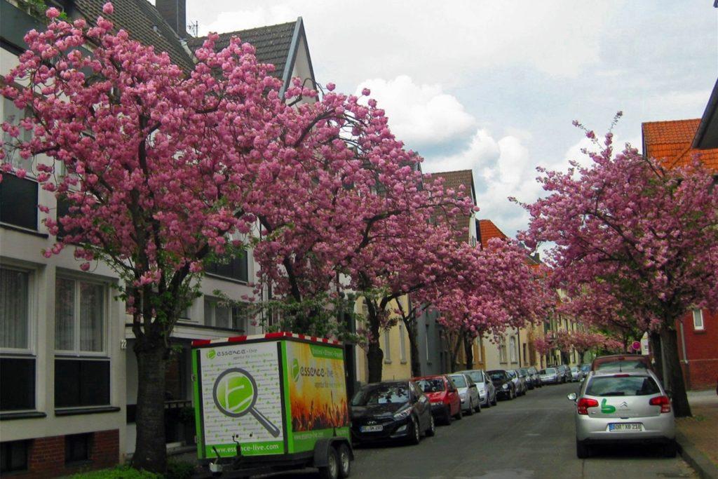 Zur Kirschblüte ist der Alte Postweg eine der schönsten Alleen in Dorsten.