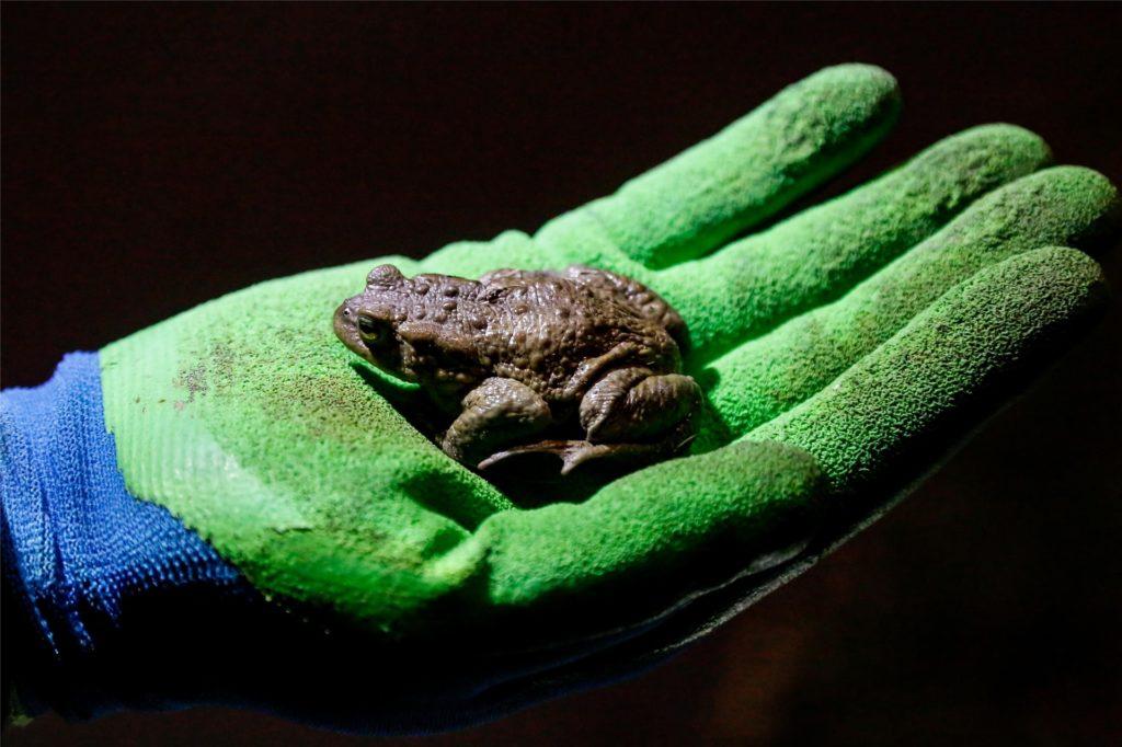 Eine Erdkröte ist nicht besonders schnell: Sie lässt sich leicht einfangen.