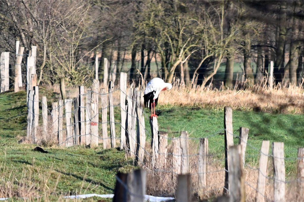 Während es sich ein Storch im Horst gemütlich machte, blieb der andere in gebührendem Abstand.