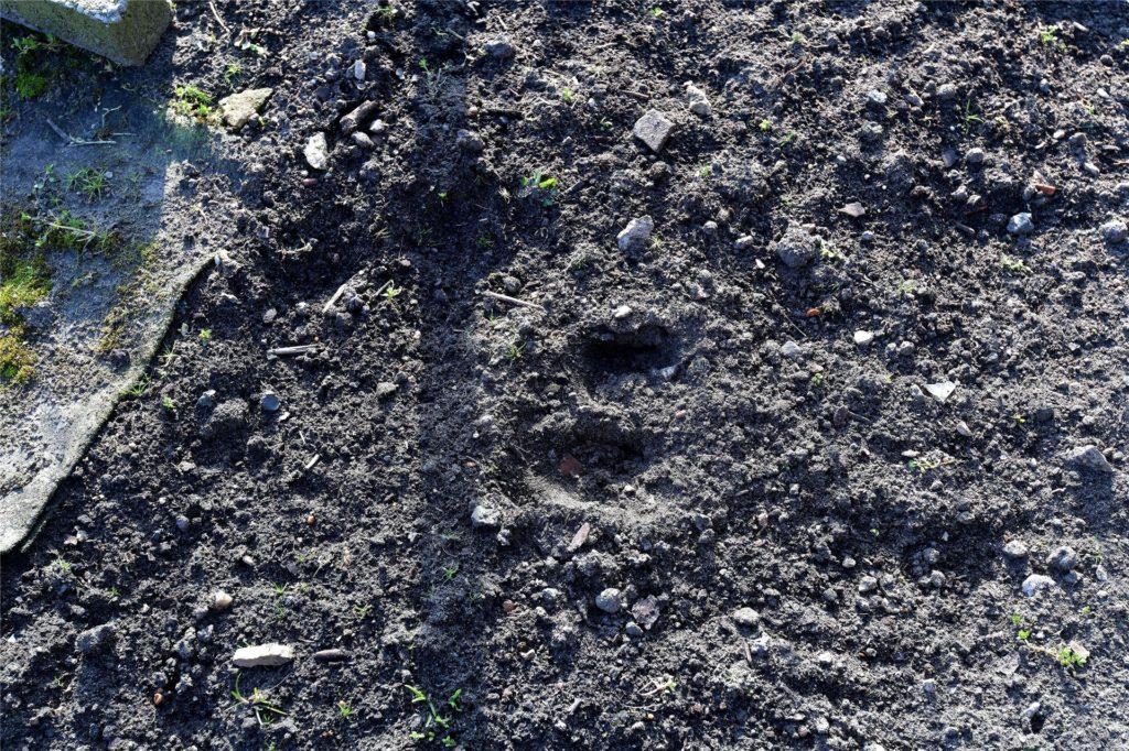 Deutliche Spuren hinterließ das Wildschwein auf seinem Weg durch die Hermann-Löns-Straße.