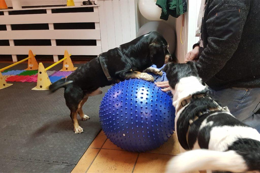 Wegen seiner Rückenprobleme muss Merlin eigentlich die Physiotherapie besuchen.