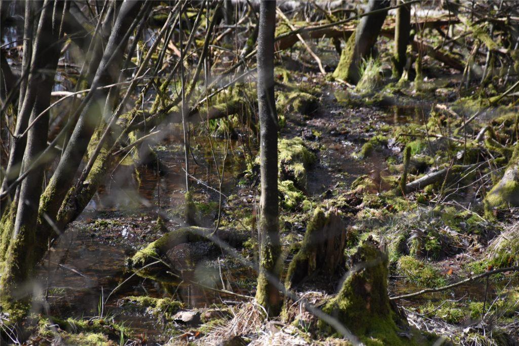Die Natur soll sich die Fläche zurückerobern. An einigen Stellen bilden sich schon Wasserflächen. Das ist ein Schritt zurück zum ursprünglichen Sumpfwald.