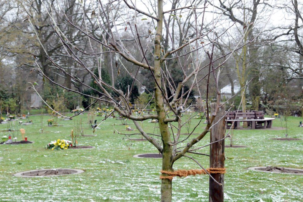 Der neue Apfelbaum steht als Solitär zwischen den Zierobstbäumen, in deren Baumscheiben wie in einem Friedwald Urnen beigesetzt werden.