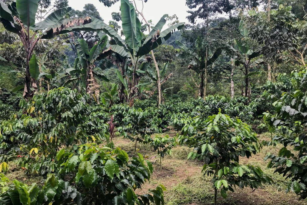 Der Klimawandel wirkt sich auch auf Kaffeeanbaugebiete aus.