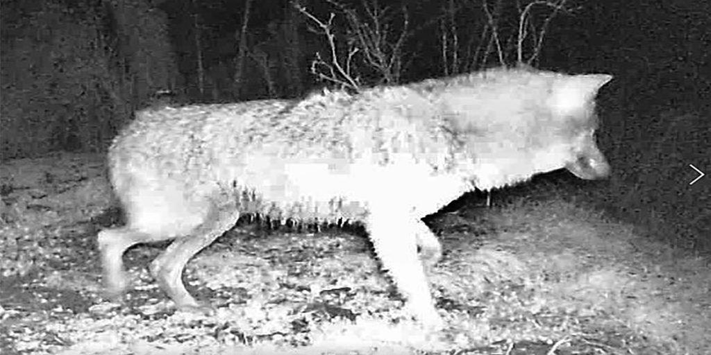 Die Aufnahme des Wolfs in der Wildtier-Fotofalle in Werne.