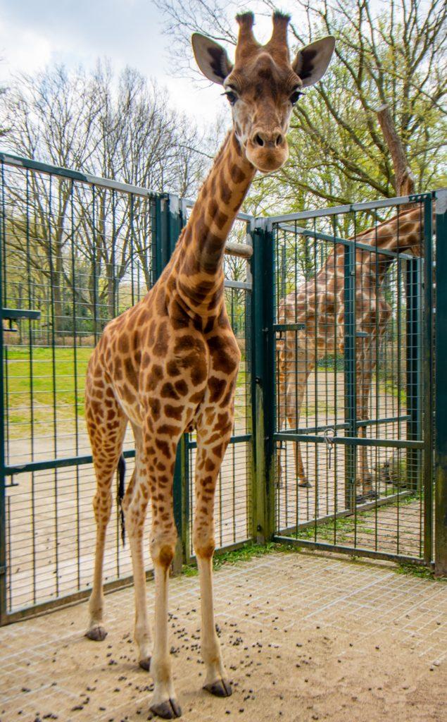 Penda ist zwei Jahre alt und 3,5 Meter groß. Sie ist am Montag (20.4.) aus Basel in den Dortmunder Zoo umgezogen.