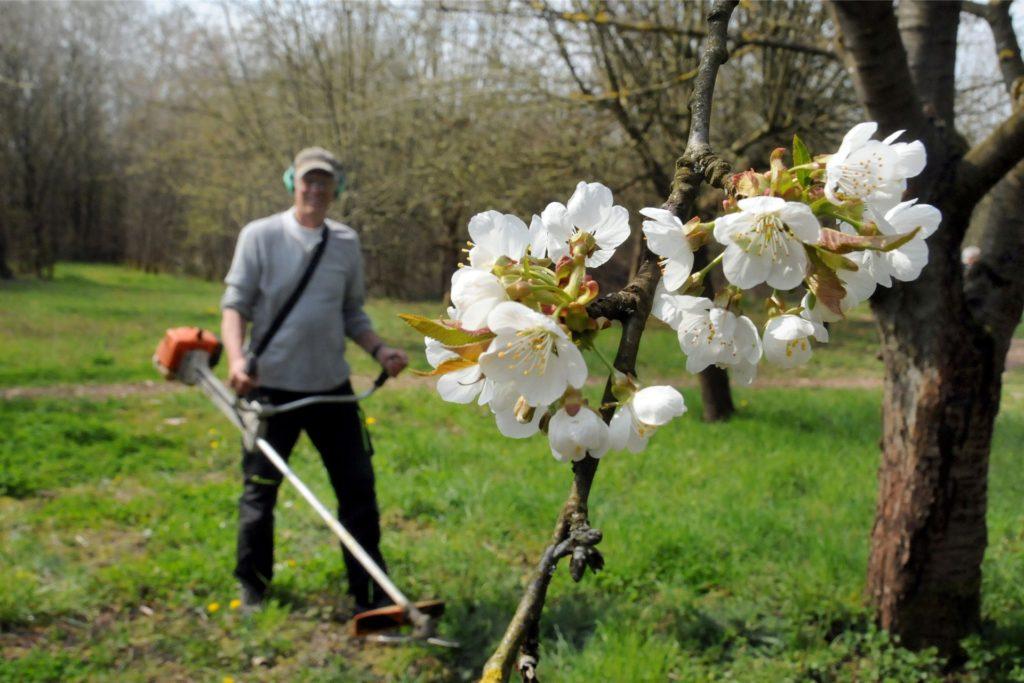 Blühende Kirschbäume belohnten Udo Edelmeier und seine Mitstreiter derzeit für die Arbeit auf ihrer Streuobstwiese.