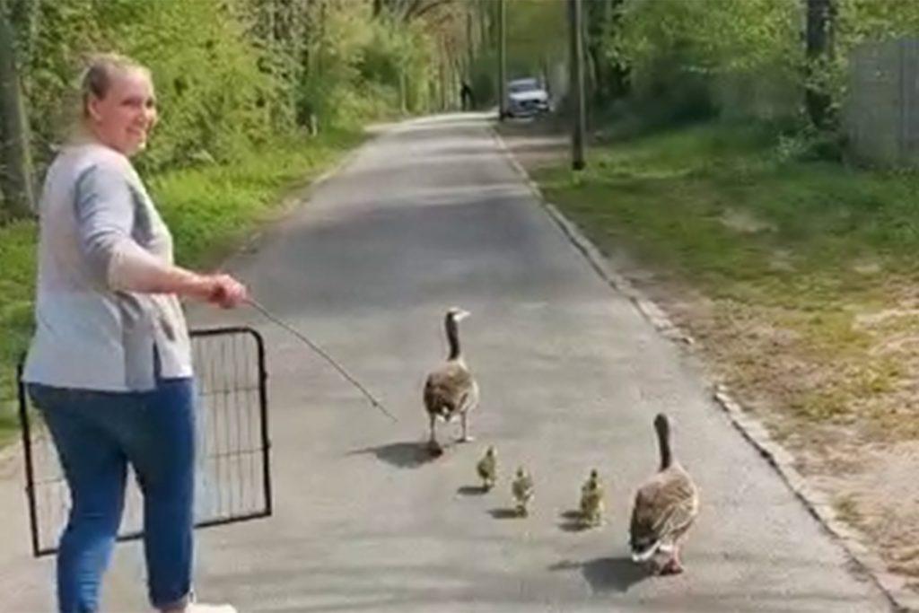 Mit einem Gitter und einem Stöckchen führt Patricia Mingram die Entenfamilie zurück in den Wald.