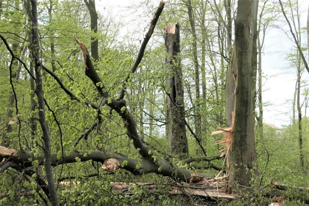 Spaziergänge in Oedinger Busch verbieten sich bei einem Sturm und danach von selbst: Zu viel Gefahr geht dann von den alten Buchen dort aus.