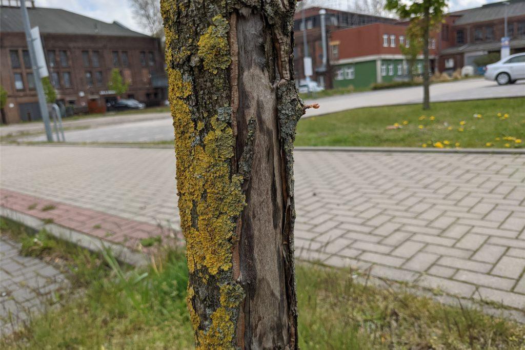 Viele der Bäume haben Risse und Schäden in der Rinde.