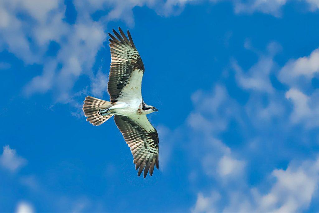 Ein Fischadler kreist über dem Halterner Stausee.