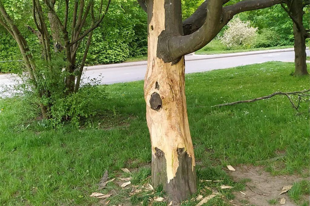 So sah einer der beiden beschädigten Bäume aus, bevor sich das Grünflächenamt seiner angenommen hat