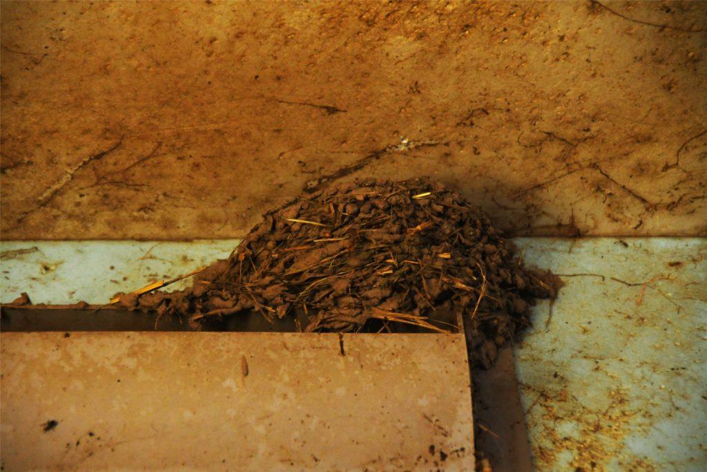 Baumaterial für die Nester in den Schweineställen finden die Schwalben reichlich.