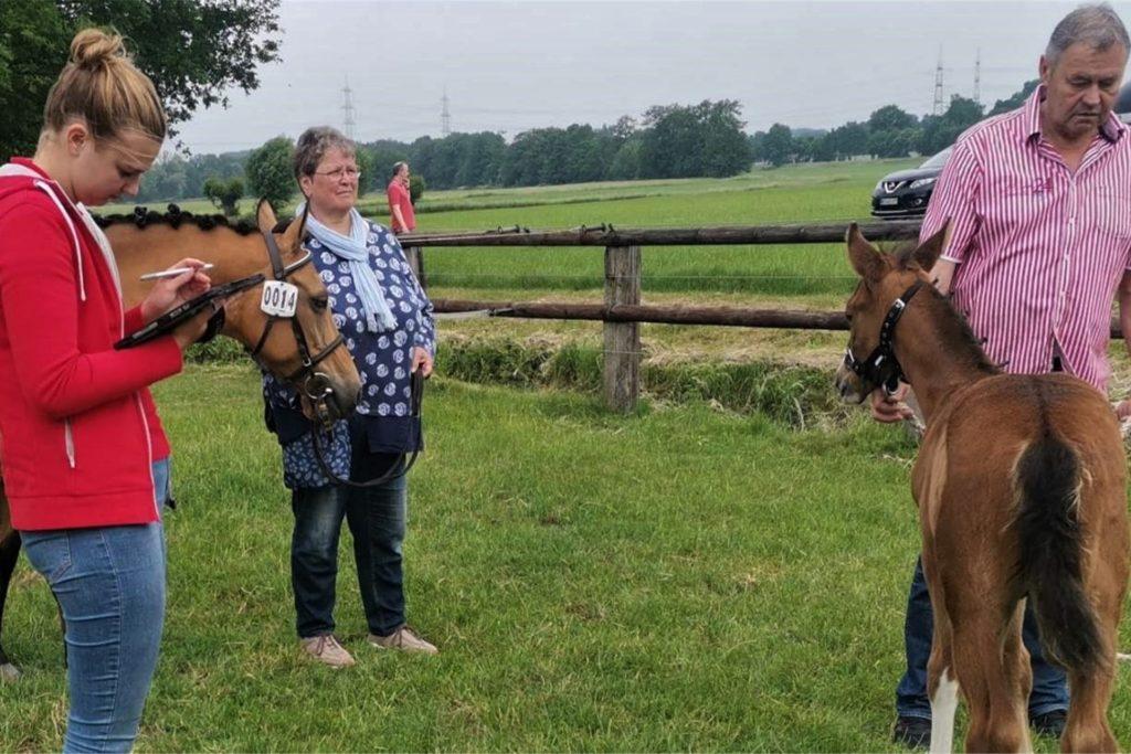 Das gerade mal ein Monat alte Fohlen vom Kirchhellener Ponyzüchter Hubert Fockenberg erreichte unter den 14 Kleinpferden immerhin Platz 4 - nach der Platzierung ging es direkt zum Registrierwagen des Pferdestammbuches.